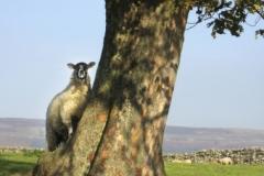 Website Gallery Image ~ Ewe Tree~ Yorkshire