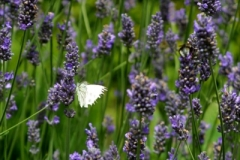 Website Gallery Image ~ Landing on the Lavender ~ Hidcote