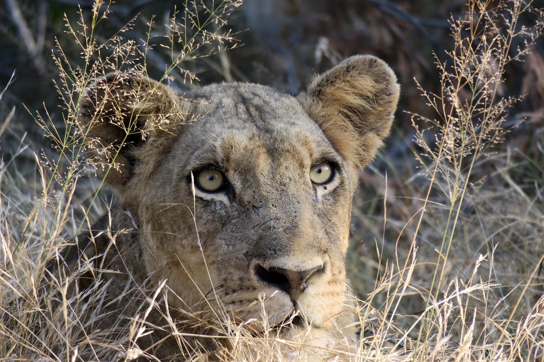 Lukimbi Lioness