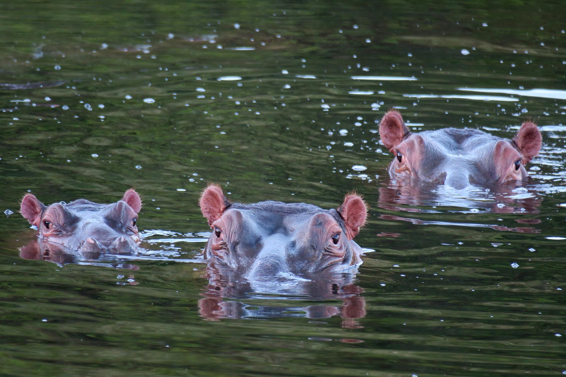Kariega Hippos